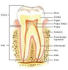 Ağız ve Dişler Hakkında Genel Bilgi